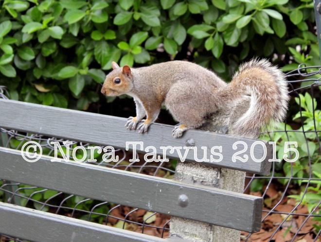 NYCsquirrels1 kopio