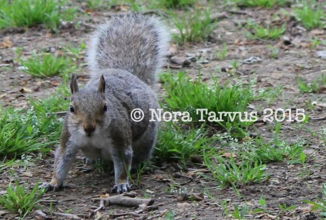 NYCsquirrels2 kopio