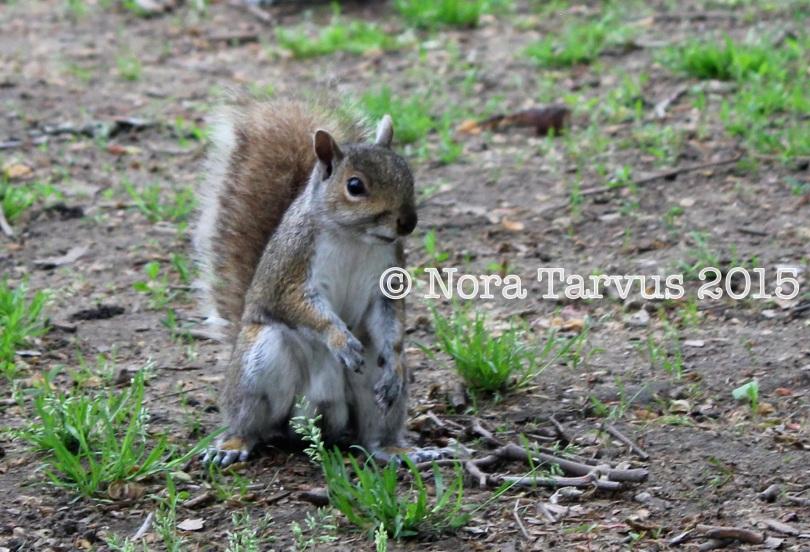 NYCsquirrels3 kopio
