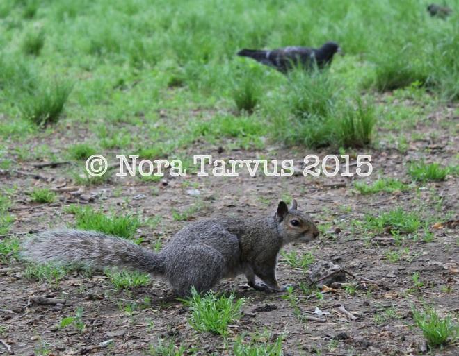 NYCsquirrels4 kopio